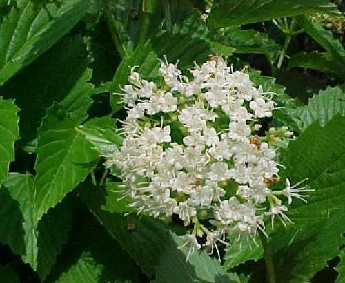 arrowwood-viburnum.jpg